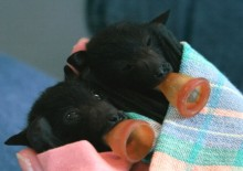 Baby bats waiting to be fed on a Batty Boat Cruise.