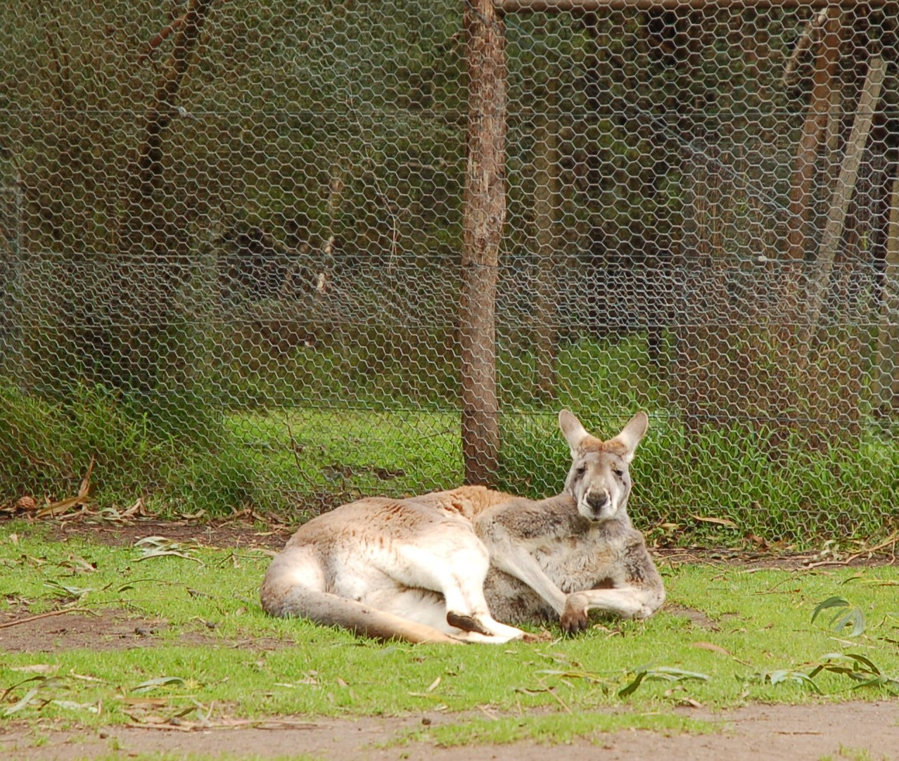 Kangaroos are turning on humans for food, experts say