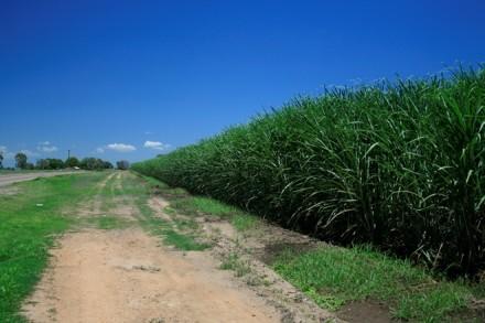 Sugarcane_field_in_Queensland,_Australia_1
