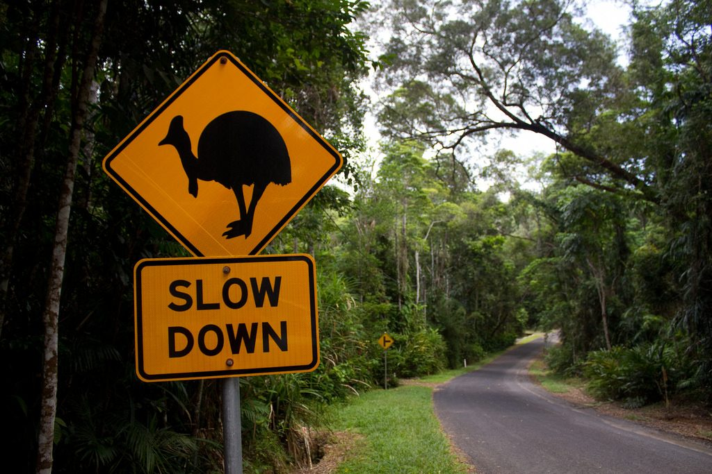 Road accidents are the biggest reason for cassowary deaths in Mission Beach. Source: Creative Commons