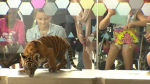 Tiger cubs at Lady Cilento Hospital