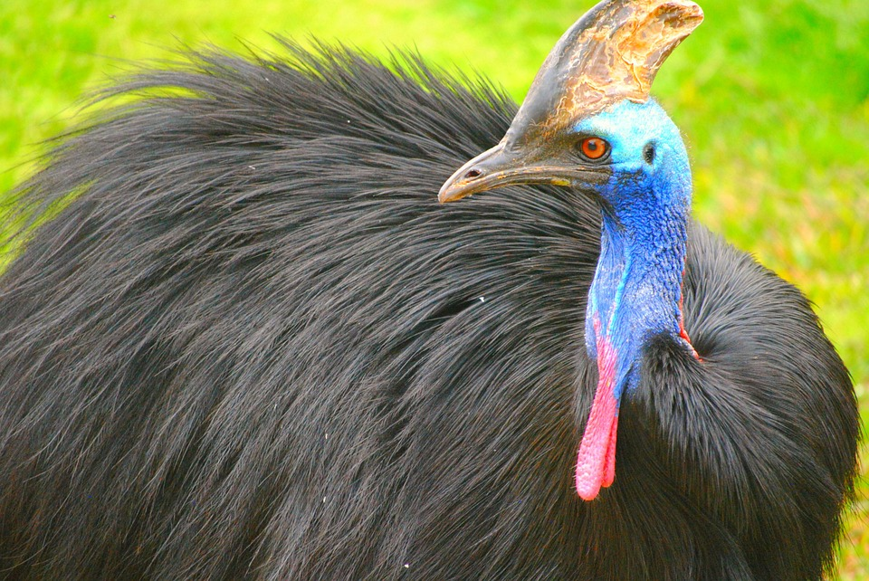Cassowaries are only found in North Queensland, Papua New Guniea and some surrounding islands. Source: Creative Commons