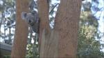 QUT News - koalas