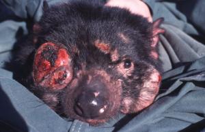 Tasmanian Devil Tumor Disease