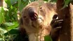 Koalas endangered