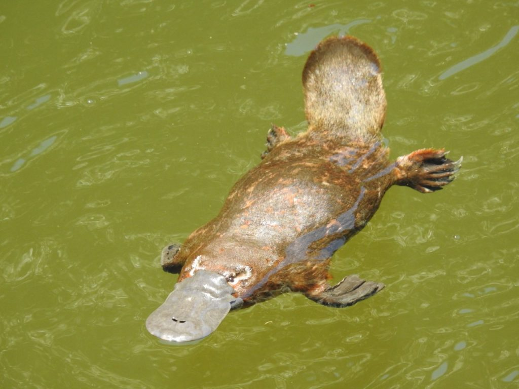 In plain sight: how we missed the decline of the platypus ...